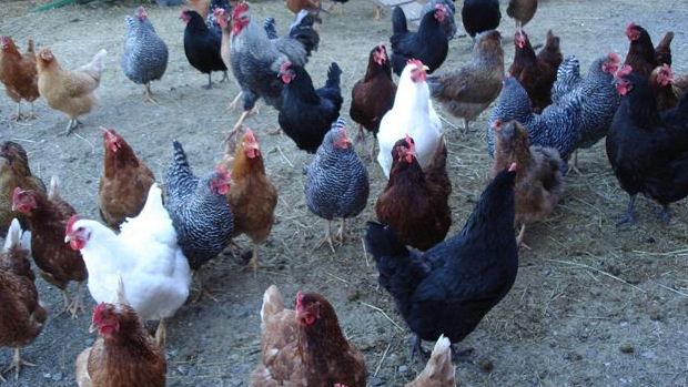 Куриное мясо содержит очень мало жира, так, например, в 100 гр курицы.
