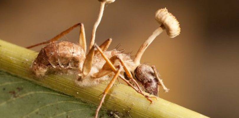 The Cordyceps Syndrome