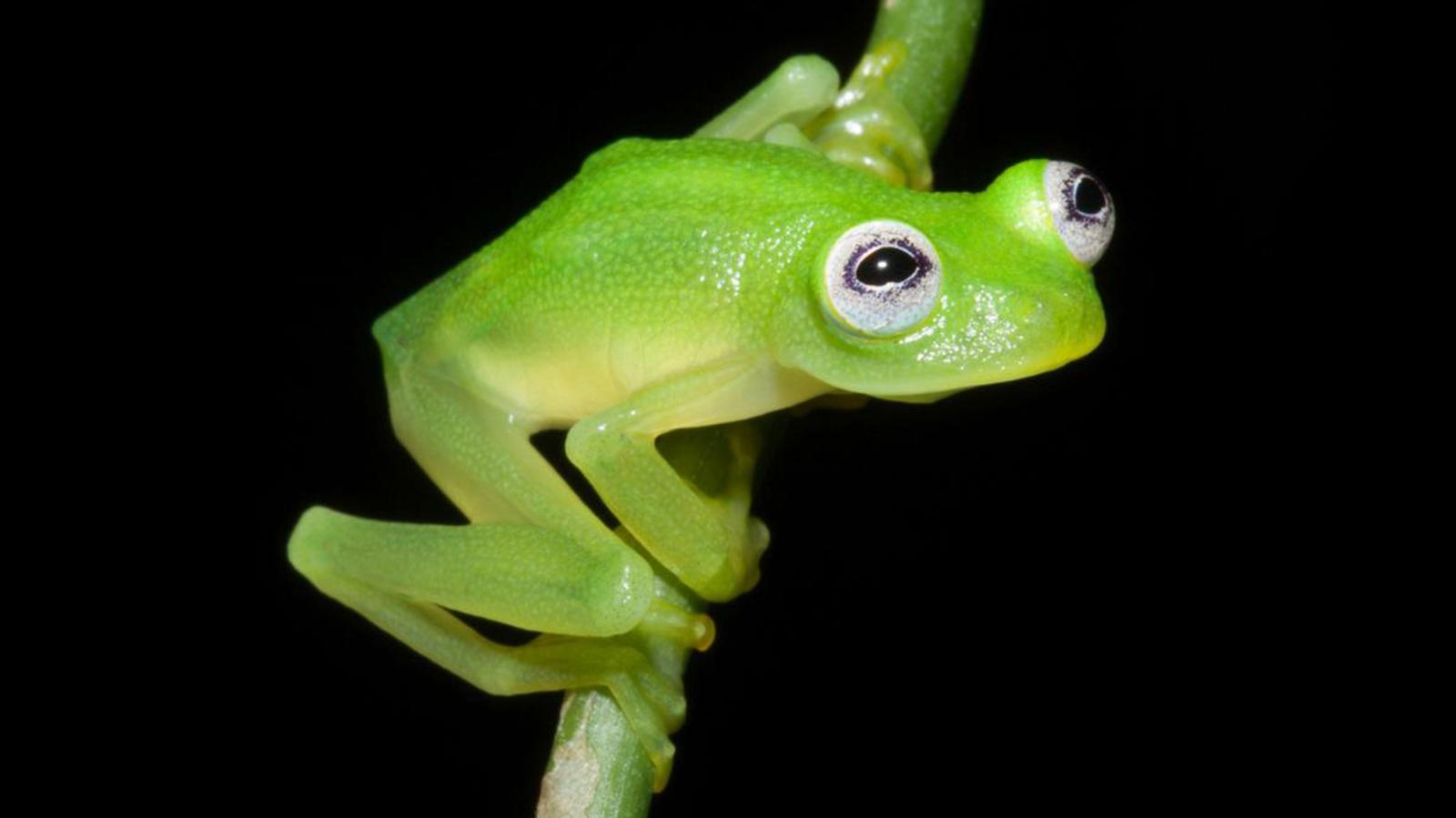 V Frog Kpm Review: Frog Fr...