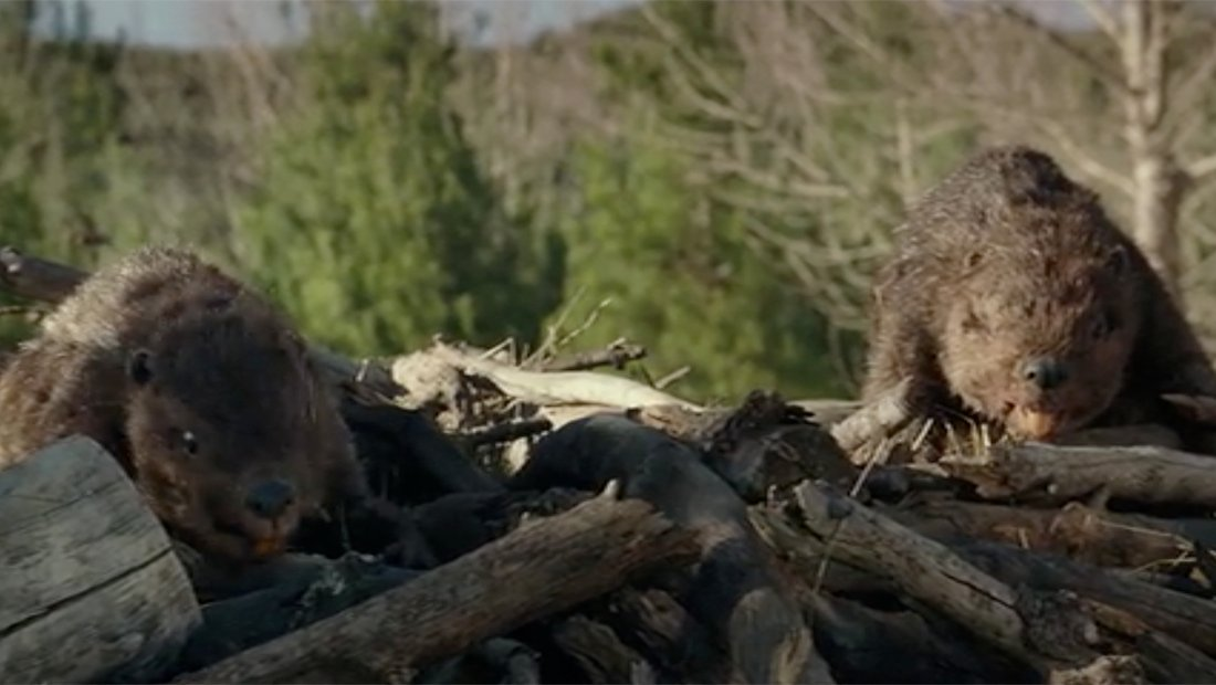 Cute beavers, pre-zombification, are still fugly.