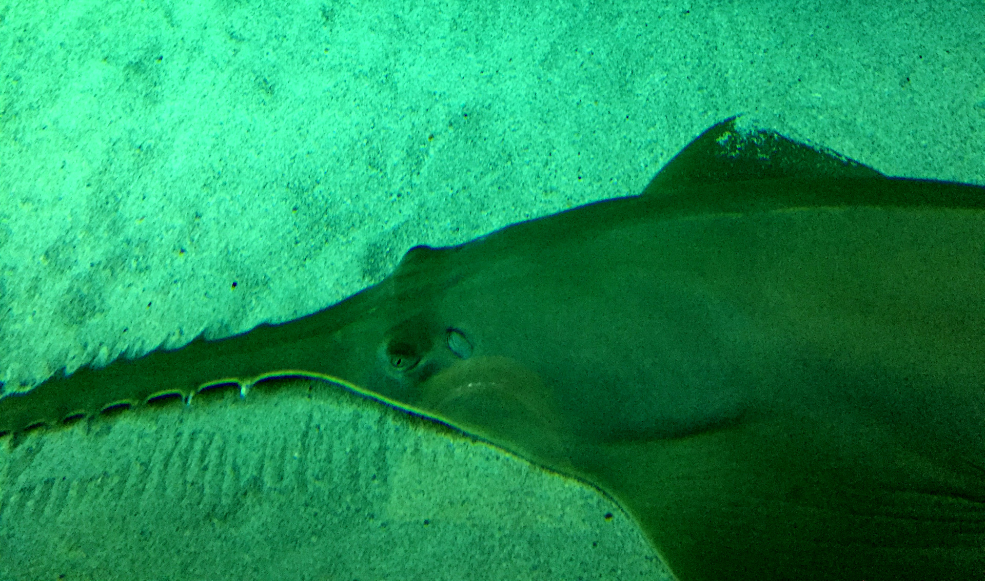 Sawfish are such a trip